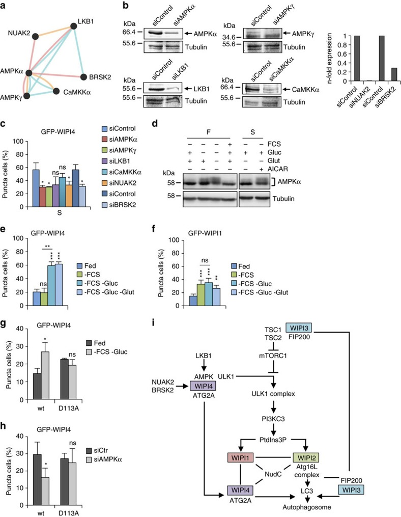 Glucose-starvation-mediated AMPK activation regulates WIPI4. ( a ) A lentiviral-based shRNA screening approach targeting the human kinome used for the assessment of autophagy identified AMPK and the AMPK-related protein kinases NUAK2 and BRSK2, along with CaMKKα, as autophagy regulators (for details see Methods section and Supplementary Fig. 8 ). Reported (red) and predicted (yellow) proteins interactions, and pathway interactions (blue) are indicated (GeneMANIA). ( b ) Stable GFP-WIPI1 U2OS cells were transfected with siRNAs for AMPKα, AMPKγ, LKB1, CaMKKα, NUAK2 or BRSK2 and knock-down confirmed by immunoblotting (left panels) or quantitative RT–PCR (right panels). ( c ) Stable GFP-WIPI4 U2OS cells with siRNAs targeting AMPKα, AMPKγ, LKB1, CaMKKα, NUAK2 or BRSK2 were starved (S) for 3 h. Mean percentages of GFP-WIPI4-puncta-positive cells (300 cells per condition, n =3) are presented. ( d ) U2OS cells were fed (F) or starved (S) with or without glucose, glutamine or AICAR and immunoblotted using anti-AMPKα and anti-tubulin antibodies. Stable GFP-WIPI4 U2OS cells ( e ) or GFP-WIPI1 ( f ) were fed or treated with complete medium without FCS (−FCS), without glucose (−FCS −Gluc) or without glucose and glutamine (−FCS −Gluc −Glut). Mean percentages of GFP-WIPI4-puncta-positive cells (300 cells per condition, n =3) ( e ) and GFP-WIPI1-puncta-positive cells (up to 3,904 cells per condition, n =6) ( f ) are presented. ( g ) U2OS cells expressing GFP-WIPI4 WT or GFP-WIPI4 D113A mutant were fed or glucose-starved (−FCS −Gluc) for 3 h. Mean percentages of GFP-WIPI4-puncta-positive cells (300 cells per condition, n =3) are presented. ( h ) U2OS cells expressing GFP-WIPI4 WT or GFP-WIPI4 D113A mutant with siControl (siCtr) or siAMPKα were glucose-starved (−FCS −Gluc) for 3 h. Mean percentages of GFP-WIPI4-puncta-positive cells (500 cells per condition, n =5) are presented. ( i ) A predicted model for the differential contributions of human WIPI β-propeller proteins in autophagy