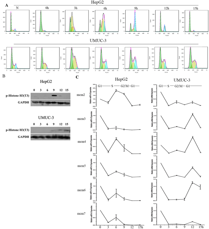 MCMs' mRNA express in HepG2 and UMUC-3 Cells. ( A ) Cells were synchronized with double thymine and incubated in fresh medium for 0h, 3h, 6h, 9h, 12h and 15h. Cell cycle was analyzed by FACS. Data are shown as mean±SD of three independent experiments. N: asynchronized cells. ( B ) P-Histone H3 was detected by western-blot. ( C ) MCMs' mRNA levels were examined by real-time RCR. Data are normalized to the beta-actin level in each sample. These experiments were performed in triplicate, and the values are expressed as mean±SD.