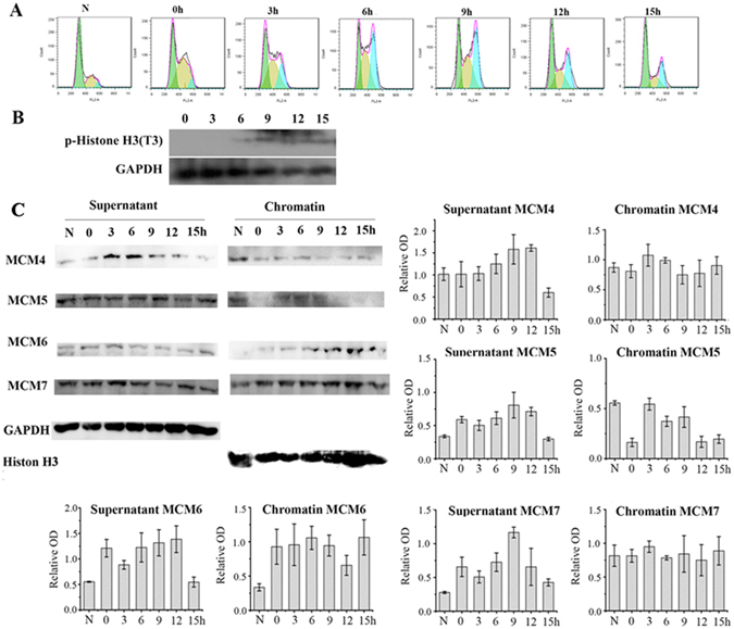 MCM7 constantly bind chromatin throughout cell cycle in SPC-A1 Cells. SPC-A1 Cells were treated with double thymine and then incubated in fresh medium for 0 h, 3 h, 6 h, 9 h, 12 h and 15 h. ( A ) SPC-A1 cell cycle was analyzed by FACS. ( B ) P-Histone H3 was detected by western-blot. ( C ) Chromatin binding and non-chromatin binding MCM4, MCM5, MCM6 and MCM7 were analyzed by chromatin binding assay. Histone H3 and GAPDH were used as loading control for chromatin-binding proteins and non-chromatin binding proteins respectively. Data are presented as optical density fold difference related to loading control from three independent experiments.