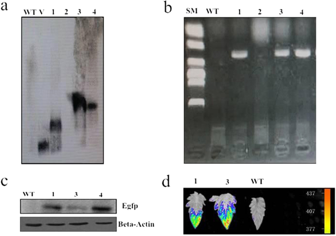 Molecular analysis of T0 transegenic tomato liners expressing CmLOX18 . ( a ) Southern blot of wild-type control and four T0 transgenic tomato lines expression CmLOX18 . Genomic DNA was prepared from young leaf material from wild-type control and transgenic plants: 1, 2, and 3 and V (35S-overexpression CmLOX18 construct). The genomic DNA (10 μg/lane) was digested with HindШ and separated in a 0.8% (w/v) agarose gel. Blotted DNA was hybridized to a probe prepared from the bar gene. ( b ) Detection of CmLOX18 cDNA by PCR analysis. Genomic DNA was extracted from transgenic lines. ( c ) Western blot. Proteins were extracted and Western blot was carried according to standard procedures using anti-e GFP Mouse Monoclonal antibody. ( d ) Images of wild-type control and twoT0 transgenic tomato leaves.