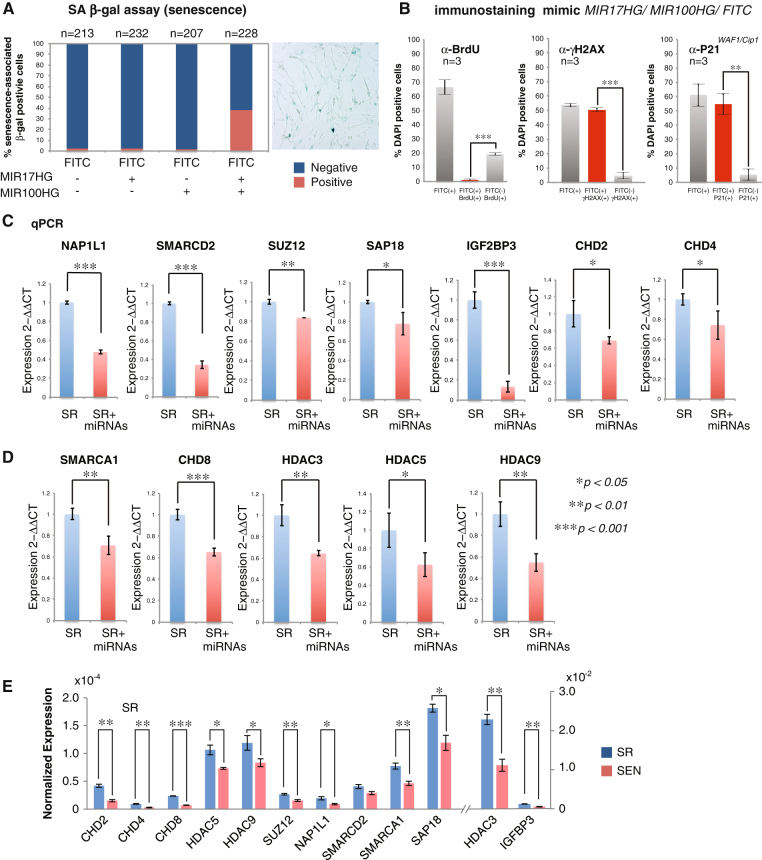 SA-miRNAs from oncogenic MIR17HG and tumor-suppressive MIR100HG clusters function to establish senescent phenotype in hADSCs. a Percentage of SA-β-Gal positive cells among the total amount of cells counted after transient transfection of the mimics of the SA-miRNAs from either the MIR17HG ( mir-17-5p , mir-18a-5p , mir-19a-3p , mir-20a-5p and mir-92a1-5p ) or the MIR100HG ( mir-125b1-5p , mir-1let7a-2-3p , mir-100-5p ) clusters separately or after simultaneous transfection by a full set of the SA-miRNA mimics from both clusters in SR hADSCs. SA-miRNA mimics were transfected with FITC-labeled control to account for the transfection efficiency as described in material and methods and electronic supplementary materials . The transfection efficiency for each combination is shown in (Supplementary Figure S8D ) and is expressed as a percentage of green cells among the total DAPI-positive cells ( n ) counted under the fluorescent microscope. b Quantitation of the BrdU incorporation in SA-miRNA mimics-transfected SR hADSCs (FITC+) 72 hrs post-transfection presented as FITC+ BrdU+ ( red bar ). Quantification of cells positive for SEN-associated markers P21 WAF1/Cip1 and γH2AX persistent DDR focal staining is performed under the same conditions in FITC+ ( red bars ) and FITC− cells. Results were plotted on the graphs as the averages of three independent experiments (biological replicates n = 3) with the standard deviation of data. Cell counted in each experiments: BrdU staining n 1 = 440, n 2 = 279, n 3 = 334; γH2AX staining n 1 = 117, n 2 = 109, n 3 = 133; P21 WAF1/Cip1 staining n 1 = 118, n 2 = 135, n 3 = 90. P -values (p) were calculated as Students' two-tailed test: BrdU labeling experiment ***p