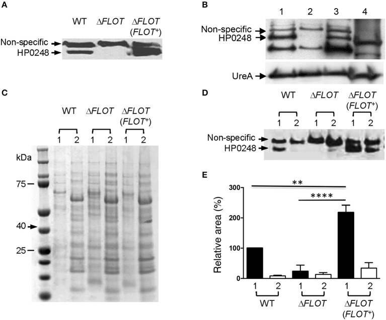 HP0248 is enriched in the DRM fractions of H. pylori cell membranes. (A) Whole cell lysates of H. pylori 251 WT, Δ FLOT , or FLOT ( FLOT +) bacteria were analyzed by Western blotting. Full length HP0248 protein (molecular weight, c . 40 kDa) was detected in WT and FLOT ( FLOT +) preparations, but not in those of the Δ FLOT strain. A non-specific protein band was also present in all three preparations. (B) Western Blot of H. pylori 251 WT whole cell lysate (lane 1), inner membrane (lane 2), outer membrane (lane 3) and cytoplasmic (lane 4) fractions. UreA was used as a loading control. (C) Coomassie-stained SDS-PAGE gel showing the total protein profiles of DRM (lane 1) and DSM (lane 2) preparations of H. pylori 251 WT. Molecular weight markers are shown. (D) Western blot of DRM (lane 1) and DSM (lane 2) preparations from H. pylori 251 WT, Δ FLOT , or FLOT ( FLOT +) bacteria. (E) Densitometric analysis of HP0248 in DRM and DSM fractions from H. pylori 251 WT, Δ FLOT , and FLOT ( FLOT +) bacteria. The relative amount of HP0248 in each fraction (mean ± SEM from three independent experiments) is expressed relative to that in the WT DRM fraction. Data were analyzed using the one-way ANOVA. ** P