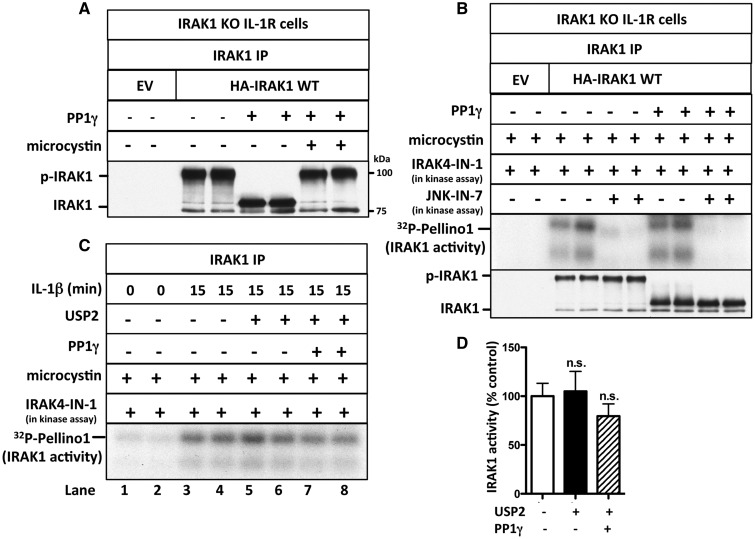 IRAK1 activation does not require its phosphorylation or ubiquitylation. ( A ) IRAK1 KO IL-1R cells were transfected with 5 µg of DNA of control empty vector (EV) or HA-IRAK1, and IRAK1 then immunoprecipitated from 0.5 mg of cell extract protein. The IPs were incubated with PP1γ (10 U) in the presence or absence of microcystin (10 µM) and denatured in SDS. Following SDS–PAGE and transfer to PVDF membranes, immunoblotting was performed with anti-IRAK1. ( B ) As in A , except that, after PP1γ treatment, the immunoprecipitates were washed, incubated for 1 h with 10 µM microcystin, and IRAK1 was assayed with GST-Pellino1 and Mg[γ 32 P-ATP] as substrates in the absence (−) or presence (+) of JNK-IN-7 (1 µM) and in the presence (+) of IRAK4-IN-1 (1 µM) to inactivate co-immunoprecipitating IRAK4. The presence of IRAK1 in the immunoprecipitates was also analyzed by immunoblotting. ( C ) IL-1R cells were stimulated with IL-1β and IRAK1 immunoprecipitated from 1 mg of cell extract protein and incubated with PP1γ (10 U) and USP2 (1.15 µg). The immunoprecipitates were washed, incubated for 1 h with 1 µM microcystin to inactivate any residual PP1γ, and IRAK1 assayed with GST-Pellino1 and Mg[γ 32 P-ATP] as substrates in the presence (+) of IRAK4-IN-1 (1 µM) to inactivate any co-immunoprecipitating IRAK4. ( D ) The autoradiogram from C and one other independent experiment were scanned and IRAK1 activity quantitated after incubation with or without USP2 and PP1γ. The results are presented as a % of that measured without USP2 and PP1γ treatment.