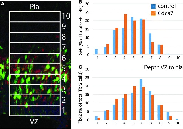 The distribution of electroporated cells with raised Cdca7 levels in lateral cortex is not different from control. A GFP+ ( green ) and Tbr2+ ( red ) cells were counted in ten 250 µm-wide bins of equal depth from ventricular zone to pia (counts were from three E12.5+16h embryos electroporated with control and three E12.5+16h embryos electroporated with Cdca7-expressing constructs). B , C Average proportions of GFP+ and Tbr2+ cells in each bin are plotted. The average depth of GFP+ cells on the scale of 1–10 was 4.95 ± 0.42 (SEM) in control and 4.78 ± 0.31 in experimental animals (ns, p = 0.76, Student's t-test). The average depth of Tbr2+ cells was 5.48 ± 0.39 in control and 5.23 ± 0.22 in experimental animals (ns, p = 0.60, Student's t-test)