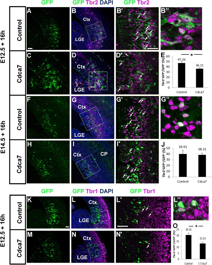 Raising Cdca7 levels in E12.5 lateral cortex affects the production of Tbr2- and Tbr1-expressing cells. Brains electroporated with either the control or Cdca7 plasmid at A – D , K – N E12.5 and F – I E14.5 reacted for A – D , F – I Tbr2 or K – N Tbr1. B ′, D ′, G ′, I ′, L ′, N ′ High magnification of the areas outlined in B , D , G , I , L , N . Arrows point to cells co-labelled with Tbr2/Tbr1 and GFP and B ″, G ″ and L ″ show magnified examples. E The frequencies of Tbr2+ cells in the population of GFP+ cells after E12.5 electroporation (mean ± SEM; control, n = 4: Cdca7, n = 3): the proportion in the Cdca7 group is significantly lower than that in the control group (p