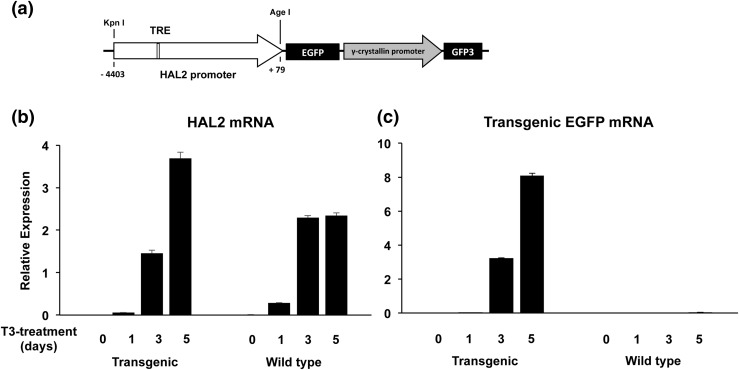 The transgenic HAL2 promoter, driving EGFP in transgenic tadpoles, respond to T3 similarly as the endogenous HAL2 gene in the intestine. (a) The double promoter transgenic construct used to study the HAL2 promoter in vivo . The HAL2 promoter fragment flanked by the Kpn I and Age I restriction sites [with the numbers indicating the position relative to the transcription start site in Fig. 1(a) ] was cloned to drive the expression of EGFP in a double promoter transgenic construct, which also contains an eye-specific promoter, the γ -crystallin promoter, driving the expression of the GFP3 ( 36, 37 ). The HAL2 TRE in the promoter is shown as an open box. (b and c) Stage 54 premetamorphic wild-type or transgenic tadpoles were treated with 10 nM T3 for 0 to 5 days and total intestinal RNA was isolated for expression analysis of the endogenous HAL2 mRNA (b) or transgenic EGFP mRNA (c). Note that the endogenous HAL2 expression was upregulated significantly after 3 to 5 days of treatment in both wild-type and transgenic tadpoles. The expression of the transgenic EGFP mimicked that of the endogenous HAL2 in the transgenic tadpoles but was, as expected, absent in the wild-type tadpoles.