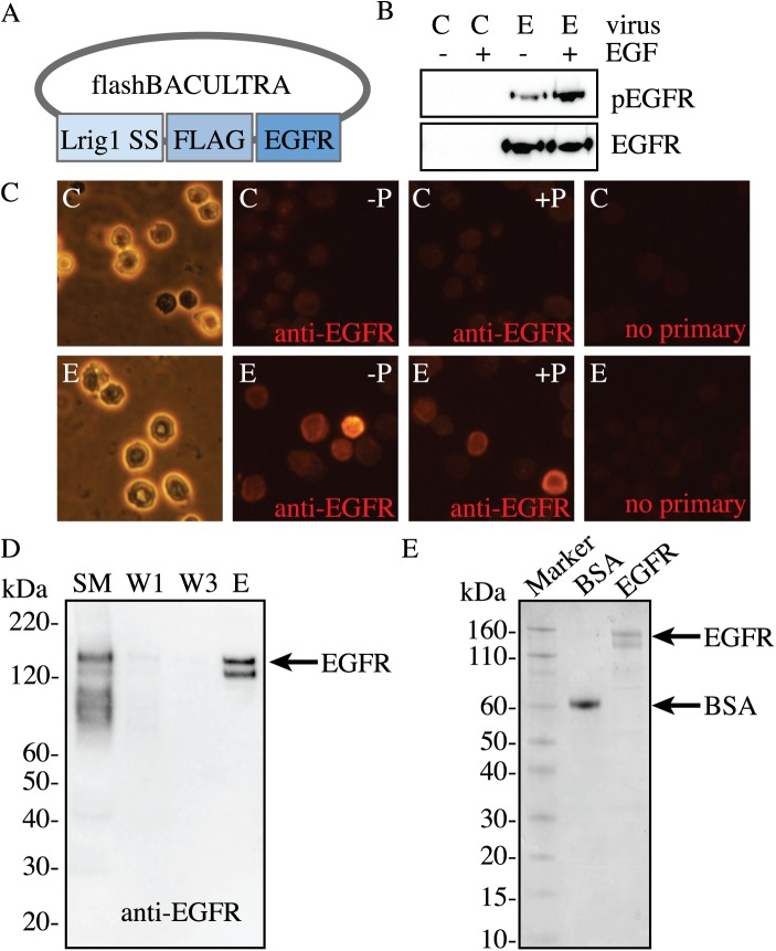 Baculovirus-expressing <t>EGFR</t> production. A , Map of the EGFR baculovirus using the flashBACULTRA system with a FLAG epitope placed between the leader sequence peptide (Lrig1 SS) and the full-length mammalian EGFR sequence (EGFR). B , Sf9 insect cells were infected with a MOI of 10 of control baculovirus (C) or EGFR baculovirus (E) for 48 hours followed by collection of total cell lysate and Western Blotting to detect EGFR expression. A set of these cells was treated with 10 ng/ml EGF in order to detect ligand-induced receptor phosphorylation. C , Sf9 insect cells were seeded on glass coverslips and infected with an MOI of 10 of control (C) or EGFR (E) baculovirus for 48 hours. Cells were fixed in 4% paraformaldehyde followed by immunostaining with anti-EGFR antibody (in red) with (+P) or without (-P) permeabilization in 100% methanol. The brightfield image shows cell morphology. Cells incubated with secondary antibody in the absence of EGFR antibody (no primary) were used as a negative control. D , FLAG-EGFR is readily purified from Sf9 insect cells as shown by a representative image of anti-EGFR immunoblot of FLAG EGFR purification and E , a Coomassie-stained SDS-PAGE gel. Bovine serum albumin (BSA) was loaded as a protein of known concentration. Total insect cell lysate starting material (SM), purification washes 1, 3 (W1, W3), and elution (E) were loaded to show efficiency of the FLAG-purification.