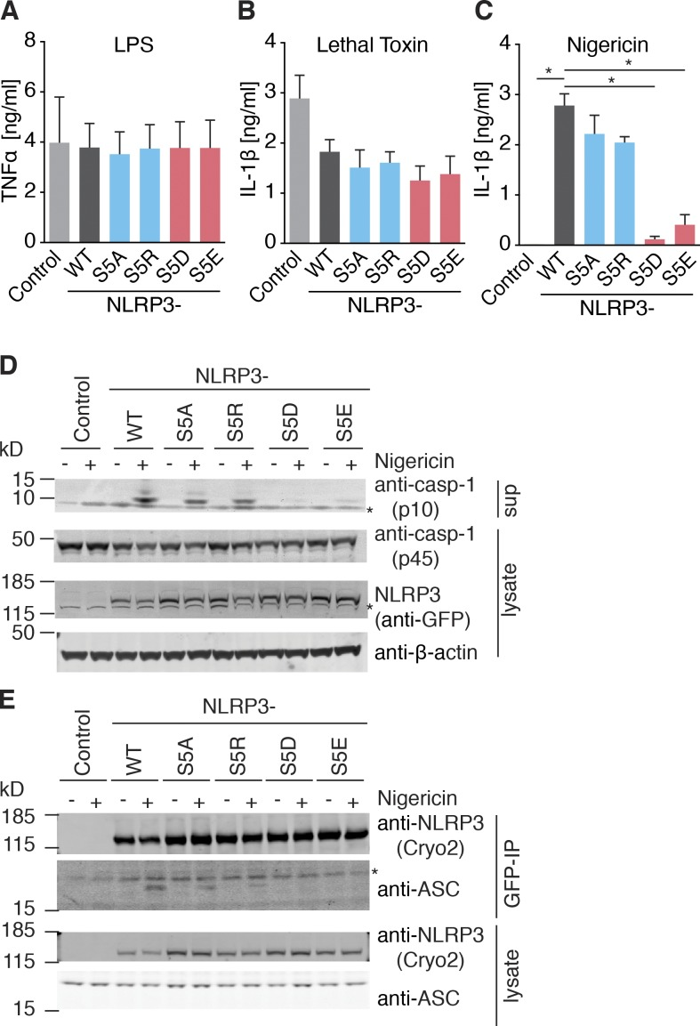 Phosphorylation of S5 inhibits NLRP3 activation. (A–C) Quantification of IL-1β and TNF by ELISA in NLRP3-deficient iMOs reconstituted with NLRP3-mCitrine WT or indicated mutations after 3 h <t>LPS</t> priming (for [A] TNF) and stimulated with (B) lethal toxin (6 h) or (C) <t>nigericin</t> (1 h). (A–C) n = 3 ± SEM; (C) *, P