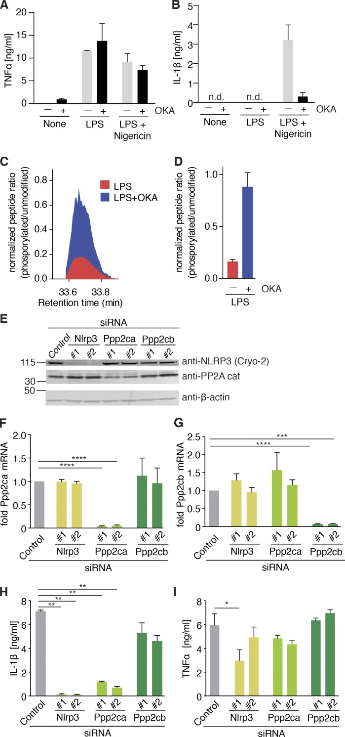 NLRP3 PYD gets dephosphorylated with involvement of protein phosphatase 2A. (A and B) Quantification of (A) TNF and (B) IL-1β by ELISA in NLRP3-deficient iMOs reconstituted with NLRP3-FLAG after 15 min pretreatment with okadaic acid (OKA) or left untreated (none), followed by 2 h LPS priming (for TNF) and stimulated with nigericin (1 h). (A and B) n = 2 ± SEM. (C) Ion intensities for the peptide containing the phosphorylated S3 (acTphSVRCKL; m/z = 493.23046; z = 2), normalized to the nonphosphorylated counterpart (acTSVRCKL; m/z = 453.24729; z = 2) are plotted at the indicated retention times for LPS-treated and LPS+OKA-treated samples. Representative of two independent experiments. (D) Ratio of the apex of phosphorylated to nonphosphorylated peptide intensities (mean ± SEM of replicates, representative of two independent experiments). (E) Immunoblot of NLRP3-deficient iMOs reconstituted with NLRP3-FLAG WT and transfected with the indicated siRNAs for 40 h. Immunoblots are representative of three independent experiments. (F and G) Same as E, but showing mRNA levels (fold of control, normalized to Hprt expression) for (F) Ppp2ca and (G) Ppp2cb. (F and G) n = 4 ± SEM. ***, P