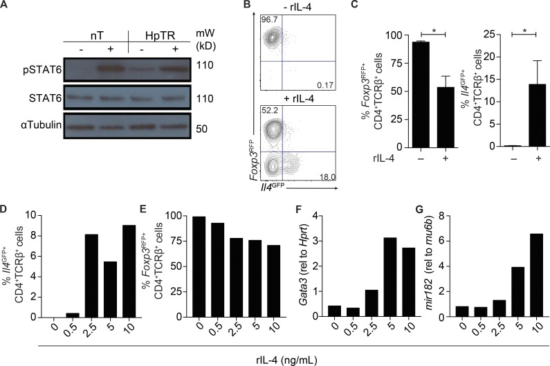 IL-4 is sufficient to promote T reg to Th2 cell conversion in vitro. (A–G) HpTR cells and nT cells were sort purified from Il4 GFP Foxp3 RFP reporter mice as described in Fig. 2 . Sorted cells were stimulated with recombinant IL-4 at 37°C for 15 min or with media as a control. (A) Levels of pSTAT6, total STAT6, and α-tubulin protein in restimulated cells. Data are representative of three independent experiments. Sorted T cells were pooled from three to four mice. mW, molecular weight. (B and C) nT or HpTR cells were cultured with anti-CD3/CD28 and IL-2, with and without the addition of IL-4. Representative FACS plots (B) and graph (C) showing the frequency of CD4 + TCRβ + Foxp3 RFP+ and CD4 + TCRβ + Il4 GFP+ cells in day 7 cultures are shown. HpTR cells were cultured with anti-CD3/CD28 and IL-2, with increasing concentrations of IL-4, and cells were harvested for FACS or qRT-PCR at day 7. (D and E) Frequency of CD4 + TCRβ + Il4 GFP+ (D) and CD4 + TCRβ + Foxp3 RFP+ (E) cells in day 7 cultures. (F and G) Gene expression of Gata3 (relative [rel] to Hprt ; F) and mir182 (relative to rnu6b ; G) in cultured cells at day 7. Data are representative of two independent experiments. Cells were sort purified from four to six mice. *, P ≤ 0.05; Mann-Whitney test. Error bars represent SEM.