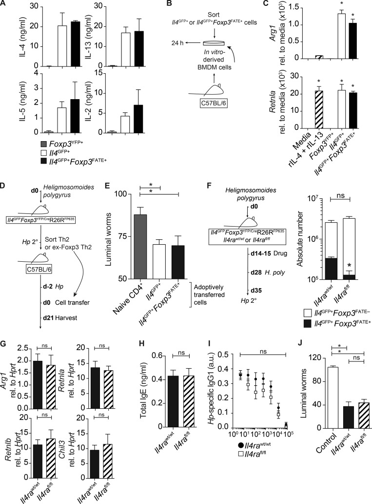 Ex-Foxp3 Th2 cells secrete type-2 cytokines, promote AAMφ in vitro, and are sufficient to drive the expulsion of H. polygyrus . (A–J) T reg, Th2, and ex-Foxp3 Th2 cells were sort purified from Hp 1° and Hp 2° Il4 GFP Foxp3 YFP/Cre R26R FP635 mice and stimulated with PMA/ionomycin for 24 h. (A) Concentration of IL-4, IL-13, IL-5, and IL-2 in the supernatant of restimulated cells. Three technical replicates were used. (B) BMDMs were cultured with FACS-purified T cells for 24 h or with media and recombinant IL-4 + IL-13. (C) Expression of Arg1 and Retnla in stimulated BMDMs. Data are representative of two to three independent experiments with three technical replicates. Sort-purified T cells were pooled from three to four donor mice. rel., relative. (D) Th2 and ex-Foxp3 Th2 cells were sort purified from Hp 2° Il4 GFP Foxp3 YFP/Cre R26R FP635 mice at day 14 after infection and transferred to Hp 1°C57BL/6 recipients 2 d after infection. (E) Intestinal worm burden at day 21 after infection. Data represent two pooled experiments with 6–10 mice per group. (F) Experimental model (see model in Fig. 6 D ). Absolute number of CD4 + TCRβ + Il4 GFP+ Foxp3 FATE– and CD4 + TCRβ + Il4 GFP+ Foxp3 FATE+ cells in the spleens is shown. Four mice per group were used. (G) Small intestine expression of key type-2 response genes, expressed relative (rel.) to Hprt . Four mice per group were used. (H and I) IgE (H)- and H. polygyrus (I)–specific IgG1 levels in the serum. Data represent two independent experiments with three to four mice per group. a.u., arbitrary units. (J) Intestinal worm count day 14 after infection. Data represent two independent experiments with five to seven mice per group. *, P ≤ 0.05; Mann-Whitney test. Error bars represent SEM.
