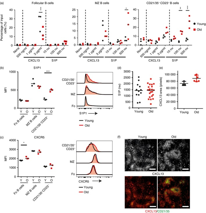 Altered chemotaxis of aged B cells to CXCL 13 and sphingosine 1‐phosphate (S1P). (a) Chemotactic response of follicular (B220 + CD 93 − CD 21 mid CD 23 hi ), marginal zone (B220 + CD 93 − CD 21 hi CD 23 lo ) and CD 21/35 − CD 23 − (B220 + CD 93 − CD 21 lo CD 23 lo ) B‐cell populations to indicated concentration of CXCL 13 or S1P presented as the percentage of input of cells that have migrated through transwells into the lower chamber in a 4‐hr assay. Input cells were equal numbers of cells pooled from three young and three old mice and technical replicates are shown. Data are representative of two repeats and results were analysed via two‐way analysis of variance with Sidak's post‐test. Median fluorescence intensity of S1P 1 (b) or CXCR 5 (c) on follicular (B220 + CD 93 − CD 21 mid CD 23 hi ), marginal zone (B220 + CD 93 − CD 21 hi CD 23 lo ) and CD 21/35 − CD 23 − (B220 + CD 93 − CD 21 lo CD 23 lo ) B‐cell populations from young and aged mice. Results were analysed using t ‐test, n = 3 per group. (d) Concentration of S1P in the serum of young and aged mice, measured with HPLC . Results were analysed using Mann–Whitney U‐ test, there was no significant difference. n = 12 young mice and 22 old mice. (e) CXCL 13 area in the follicle of spleens from young and aged mice. Results were analysed via Mann–Whitney U ‐test, there was no significant difference, n = 3 to n = 6 mice per group. (f) Representative histological staining of CXCL 13 on young and aged spleens. Scale bars = 250 μ m . *** P