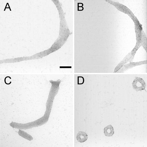 TEM images of particles formed by various DNA samples upon condensation with hexammine cobalt chloride. ( A ) Condensates formed by the nicked-DNA duplexes of oligonucleotides N1 and N2. ( B ) Condensates formed by the gapped-DNA duplexes of oligonucleotides G1 and G2. ( C ) Condensates formed by the nicked-gapped-DNA duplex of oligonucleotides N1 and G2. ( D ) Condensates formed by 3kbDNA . For all samples, DNA was 15 μM in base pair, and condensed by mixing with an equal volume of 200 μM hexammine cobalt chloride in 5 mM Bis-Tris, 50 μM EDTA (pH 7.0). Scale bar is 100 nm.