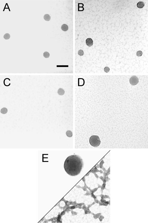 TEM images of particles formed by various DNA samples upon condensation with the Tat-NLS peptide. ( A ) Condensates formed by the nicked-DNA duplexes of oligonucleotides N1 and N2. ( B ) Condensates formed by the gapped-DNA duplexes of oligonucleotides G1 and G2. ( C ) Condensates formed by the nicked-gapped-DNA duplex of oligonucleotides N1 and G2. ( D ) Condensates formed by 3kbDNA . ( E ) Condensates formed by 21mer duplex. For all samples, DNA was 15 μM in base pair, and was condensed by mixing with the Tat-NLS peptide at a charge ratio of 1:2 (DNA phosphate:cationic charged group of the peptide) in 5 mM Bis-Tris, 50 μM EDTA (pH 7.0). Scale bar is 100 nm.