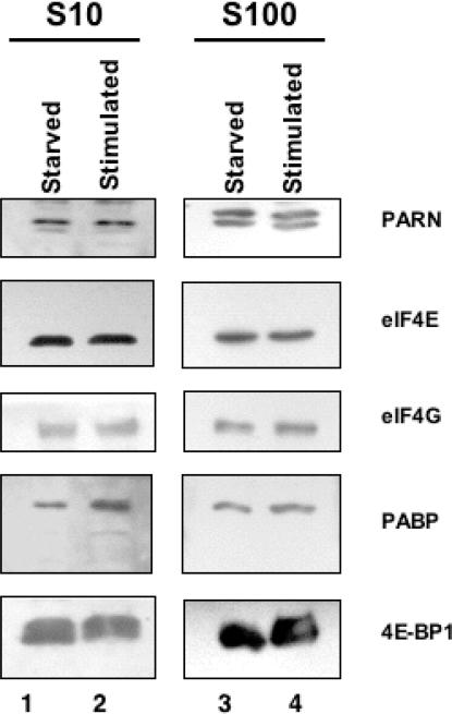 Serum starvation does not significantly alter the levels of PARN or translation initiation factors associated directly or indirectly with the cap. Hep G2 cells were grown in Eagle's MEM supplemented with 10% fetal calf serum (stimulated lanes) or cultured in serum-free media for 15 h (starved lanes). Total protein from S10 or S100 fractions was prepared and electrophoresed on polyacrylamide gels containing SDS. Western blotting was performed with the indicated antisera to detect PARN, eIF4E, eIF4G, PABP and 4E-BP1. Proteins were visualized with ECL reagents.