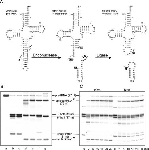 RNA ligase activity of native and recombinant enzymes. ( A ) A chimeric pre-tRNA, containing most of the mature domain from the plant pre-tRNA Tyr as shown in Figure 2B , and the intron and anticodon of pre-tRNA Trp from M.jannaschii was used as a substrate for the archaeal splicing endonuclease to generate in vitro 3′ and 5′ tRNA halves and a linear intron. It was synthesized by T7 RNA polymerase in the presence of [α- 32 P]UTP. In an ATP-dependent complex reaction, yeast and plant tRNA ligases convert tRNA halves and the linear intron into spliced tRNA and circular intron molecules, containing a 2′-phosphomonoester, 3′,5′-phosphodiester bond at the splice junction ( 8 – 10 , 46 ). ( B ) Archeuka pre-tRNA-derived tRNA halves and linear intron molecules were incubated in 20 μl splicing buffer for 30 min at 37°C in the presence of RNA ligase of different origin. Lane a, undigested archeuka pre-tRNA. In lanes b–g, pre-tRNA after cleavage with splicing endonuclease was used as input RNA; lane b, incubation without protein; lane c, incubation with a protein fraction derived from the expression of a control vector (minus cDNA insert) in the RTS 100 wheat germ extract and subsequent Ni-NTA purification to test whether the observed ligase activities are in fact due to the recombinant tRNA ligases; lane d, incubation with a partially purified tRNA ligase (gel filtration fraction) from wheat germ; lane e, incubation with 50 ng recombinant Arabidopsis tRNA ligase; lane f, incubation with 50 ng recombinant yeast tRNA ligase; and lane g, incubation with a mixture of T4 RNA ligase and T4 polynucleotide kinase/3′-phosphatase. The reaction products were separated on a 12.5% polyacrylamide/8 M urea gel. Stars (*) indicate products that were examined in more detail. ( C ) Time course of inter- and intramolecular ligation reactions by plant and yeast recombinant tRNA ligases. Archeuka pre-tRNA (400 fmol) was cleaved with splicing endonuclease and the resulting tRNA halves and linear 