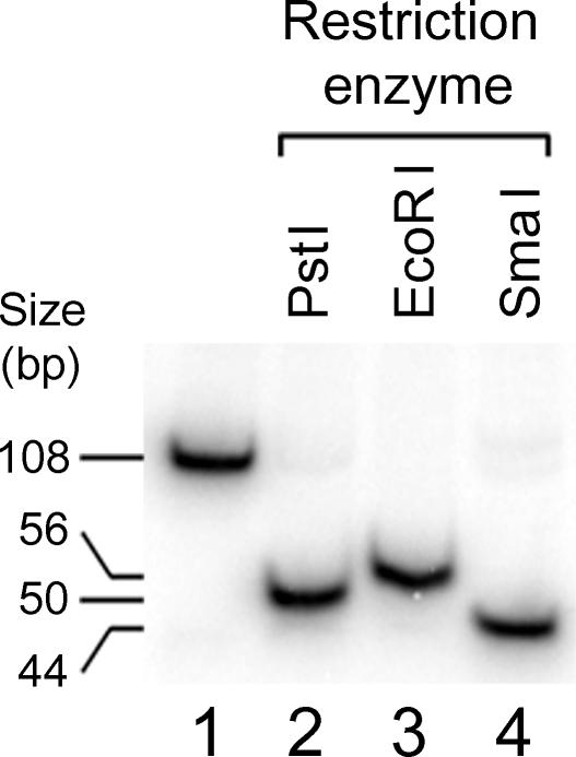 Substrates for helicase assays generated by PCR. A PCR product and its restriction fragment derivatives are shown. PCR reactions were performed as described in Materials and Methods with 32 P-labeled primer, and products were purified using the QIAquick PCR purification kit (Qiagen) (lane 1) and digest with PstI (lane 2), EcoRI (lane 3) and SmaI (lane 4) restriction enzymes.