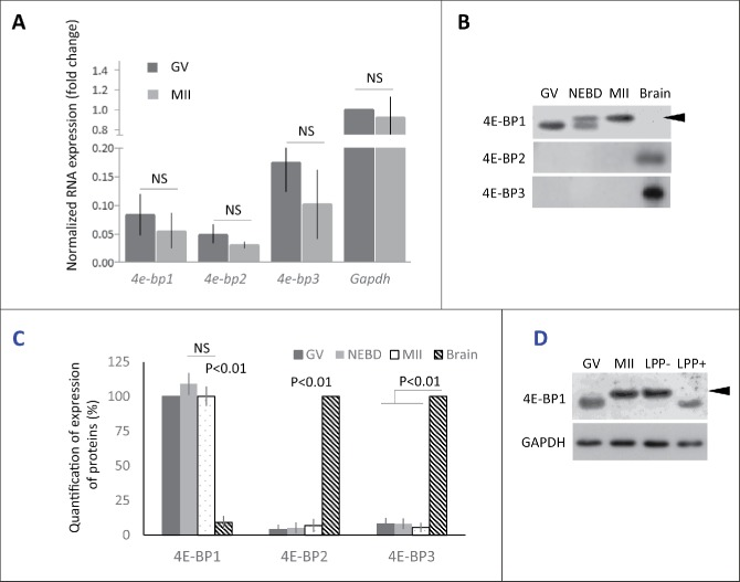 Expression of 4E-BP forms in mouse oocytes. (A) Quantitative RT-PCR analysis shows all 3 forms of 4e-bp mRNA, which are stable during oocyte maturation (NS = non-significant, n ≥ 3). Results were normalized to the relative internal standard Gapdh mRNA in GV. (B) Immunoblotting shows presence of only 4E-BP1 form on the protein level. Both 4E-BP2 and 4E-BP3 are absent in the oocytes, although they are present in the brain. Expression of the 4E-BP1 in the brain sample is significantly lower in comparison with oocytes (See Fig. S1A). 4E-BP1 displays visible phosphorylation shift (arrowhead) post NEBD (a typical experiment from at least 3 replicates is shown). (C) Quantification of protein expression of the 4E-BP1–3 in the oocytes during maturation and brain samples. Data are presented as mean ± SD, Student's t-test. (D) Treatment of the lysate from MII oocytes with Lambda Protein Phosphatase (LPP+) suppressed mobility shift of the 4E-BP1 on the WB. Arrowhead points to phospho 4E-BP1 form. See Figure S1A and B.