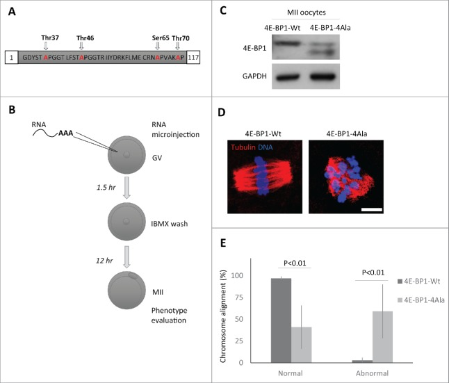 Down-regulation of 4E-BP1 phosphorylation in oocytes results in defects in the MII spindle assembly. (A) Scheme of dominant negative mutant construct of 4E-BP1–4Ala used for in vitro transcription. (B) Scheme of experimental procedure to express 4E-BP1 RNA constructs in the oocyte. (C) Immunoblotting evaluation of expression of microinjected non-phosphorylable form (marked by arrowhead) of 4E-BP1 in the matured MII oocytes n = 2. GAPDH was used as a loading control. See Figure S5. (D) Confocal images of MII spindles of oocytes microinjected with 4E-BP1-Wt or dominant negative mutant 4E-BP1–4Ala, Tubulin (red) and DNA (blue). Scale bar = 10 µm. (E) Quantification of chromosome alignment in the metaphase plate, MII oocytes expressing 4E-BP1-Wt or 4E-BP1-Ala RNA. Data are presented as mean ± SD, Student's t-test, n ≥ 25.