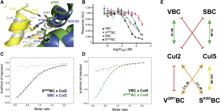 Swapping Residues and Selectivity for Cul2 or Cul5 (A) Structures of Cul5-SBC and Cul2-VBC aligned by the EloC subunit show residues involved in the electrostatic network created between substrate receptor and Cullin, in both cases. (B) AlphaLISA data show loss of binding affinity of V QRY BC toward Cul2 and rescue of binding of S KSD BC toward Cul2. The experiments were performed in quadruplicate and the results are an averaged value. The error bars represent the SD of each point. The fitting was performed with GraphPad Prism 7 software. (C and D) ITC data. Titrant solution (200 μM) was diluted into 20 μM titrate over 19 injections of 2 μL at 303 K. (C) Titration of SBC and S KSD BC into Rbx1-Cul2. (D) Titration of Cul5 NTD into V QRY BC and VBC. (E) Summary of the results obtained in the biophysical experiments.