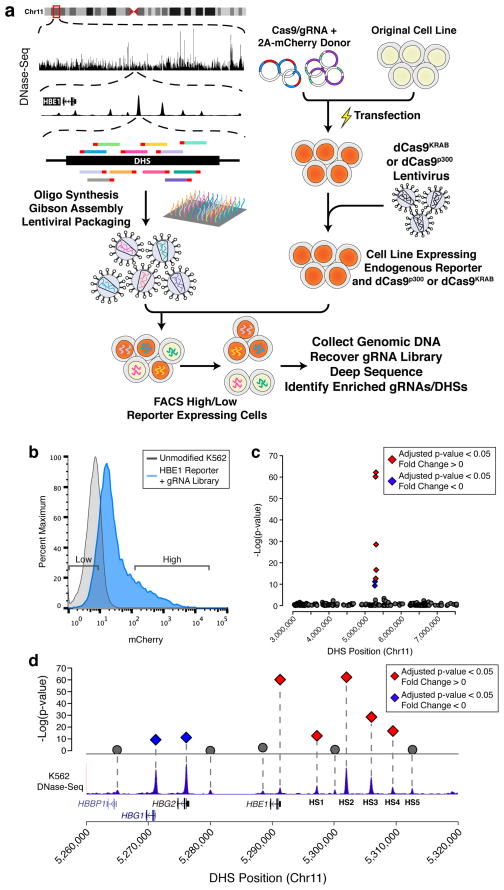 <t>CRISPR–Cas9-based</t> <t>Epigenetic</t> Regulatory Element Screening (CERES) identifies regulatory elements of the β-globin locus in a loss-of-function screen. ( a ) CERES involves the design and synthesis of libraries of gRNAs targeted to all candidate gene regulatory elements in a genomic region, in this case as defined by DNase I hypersensitive sites (DHS) identified by DNase-seq. Lentiviral vectors encoding the gRNA library are delivered to cell lines expressing the dCas9 KRAB repressor, for loss-of-function screens, or the dCas9 p300 activator, for gain-of-function screens. The cells can then be selected for changes in phenotype, such as gain or loss of expression of a target gene. Sequencing the gRNAs in the selected cell subpopulations and mapping them back to the genome reveals regulatory elements involved in controlling the selected phenotype. In the example shown here, a gRNA library was designed to all DHSs in a 4.5 Mb region surrounding the β-globin locus, and introduced into human K562 cells expressing dCas9 KRAB and containing an mCherry reporter at the HBE1 gene. ( b ) Representative flow cytometry data of the HBE1 reporter cells containing the gRNA library, and expression levels of cells sorted for gRNA enrichment. ( c ) Manhattan plot of a high-throughput screen for regulatory elements in the 4.5 Mb surrounding the globin locus using the dCas9 KRAB repressor. ( d ) Enriched DHSs following selection for decreased HBE1 expression were found only in the HBE1 promoter and enhancers (HS1-4), while the promoters of HBG1 / 2 were enriched in cells with increased HBE1 expression. Diamonds indicate adjusted p-value