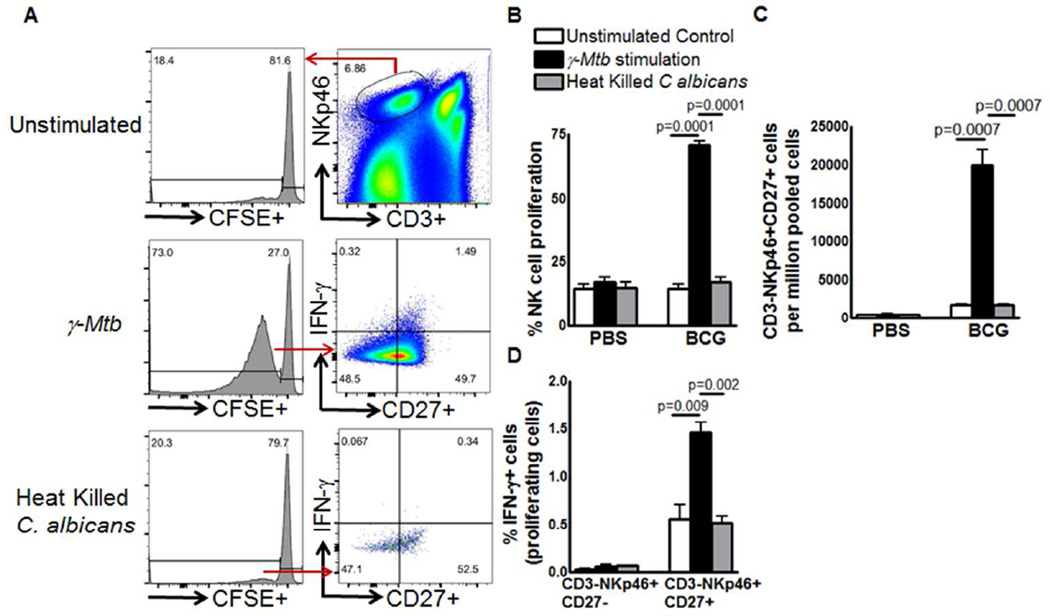 BCG vaccination induces expansion of memory-like NK cells ( A, B ) C57BL/6 mice (5 mice per group) were given 100 µl of PBS (unimmunized) or immunized subcutaneously with 10 6 CFU of BCG in 100 µl of PBS. Six months after vaccination, spleen, and peripheral lymph node cells were isolated, pooled, labeled with carboxyfluorescein succinimidyl ester (CFSE) and cultured, with or without γ- M. tb or heat killed Candida albicans . After 5 days, expanding CD3-NKp46+CD27+ NK cells and IFN-γ producing cells were measured by flow cytometry. (A) A representative flow cytometry plot is shown. NK cells were identified by sequentially gating on singlet population and then on CD3− NKp46+ NK cells. The events within the gated CD3-NKp46+ NK cells were analyzed for CFSE+ cells and plotted in the histograms. Total lung CFSE+CD3-NKp46+CD27+ NK cell numbers are shown. (B) Percent proliferating NK cells (C) Absolute number of CD3-NKp46+CD27+ cells (D) CD3-NKp46+CD27-IFN-γ+ and CD3-NKp46+CD27+IFN-γ+ cells. Mean values and SEs are shown. Data are representative of two independent experiments.