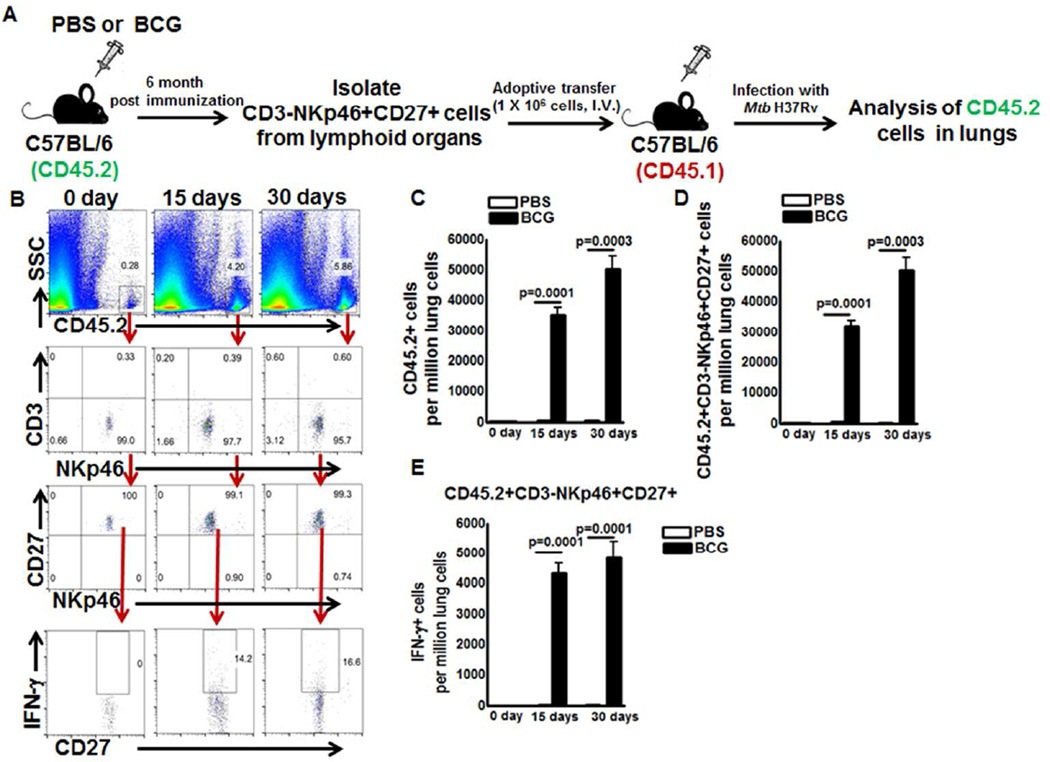 Memory-like NK cells proliferate and produce IFN-γ in M. tb infected mice C57BL/6 (CD45.2+ congenic) mice were given 100µl PBS or immunized subcutaneously with 10 6 CFU of BCG in 100µl PBS. Six months after vaccination, CD3-NKp46+CD27+ NK cells were isolated from pooled spleens and peripheral lymph node cells. 1 × 10 6 cells were adoptively transferred to CD45.1 mice (5 mice per group) through tail vein injection 10 days prior to infection with M. tb H37Rv. (A) Schematic representation of the adoptive transfer experiment ( B ) A representative flow cytometry plot is shown. Gating strategy to identify NK cells was similar to Figure 1 . (C) Absolute number of adoptively transferred CD45.2+ NK cells in lungs were determined at day 0, 15 and 30 after infection (D) Absolute number of adoptively transferred CD45.2+NKp46+CD27+ NK cells in lungs were determined at day 0, 15 and 30 after infection and (E) Absolute number of adoptively transferred CD45.2+NKp46+CD27+IFN-γ+ NK cells in lungs were determined at day 0, 15 and 30 after infection. Mean values and SEs are shown. Data are representative of two independent experiments.