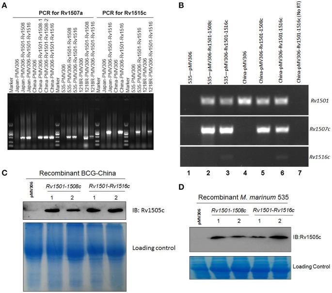 Molecular characterizations of RD4 knock-in strains of M. bovis BCG and M . marinum . (A) PCR analysis of mycobacterial genomic DNA. Chromosomal DNA from two BCG strains (BCG-Japan, BCG-China) and two M. marinum strains (1218R, 535) transformed with pMV306-Rv1501-1508c or pMV306-Rv1501-1516c were isolated and used as the template for PCR amplifications. PCR primers specific for Rv1507a and Rv1515c were used to amplify these two genes. Rv1507a was detected in all strains harboring Rv1501-1508c or Rv1501-1516c. Rv1515c was detected in strains harboring Rv1501-1516c. Strains transformed with empty vector pMV306 were used as the negative control. (B) RT-PCR analysis of the expression of Rv1501, Rv1507c, and Rv1516c in recombinant strains of BCG-China and M. marinum 535. Lanes 1-6: RNA was isolated from indicated strains and treated with DNase, which was then subjected to reverse transcription PCR analysis; lane 7: the same sample as lane 6 except no RT-PCR was performed. (C,D) Western blot analysis using antisera against Rv1505c. Cell lysates were prepared from indicated strains and subjected to Western blot analysis. The low panel in each figure is the Coomassie blue staining which served as the loading control.