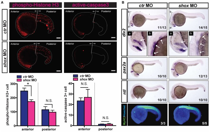 Translational blockade of zebrafish  shox  reduced cell proliferation and specific gene expression of skeletal progenitors in developing embryos.  (A)  Analyses of cell proliferation and cell death of  shox  morpholino oligo (MO) or control MO ( ctr  MO)-injected 22hpf embryos. Bars, 100µm. Representative results of phospho-Histone H3-staining and active-caspase-3-staining. Quantification data of phospho-Histone H3-staining of ctr MO-injected embryos ( n =5) and shox MO-injected embryos ( n =9). * P