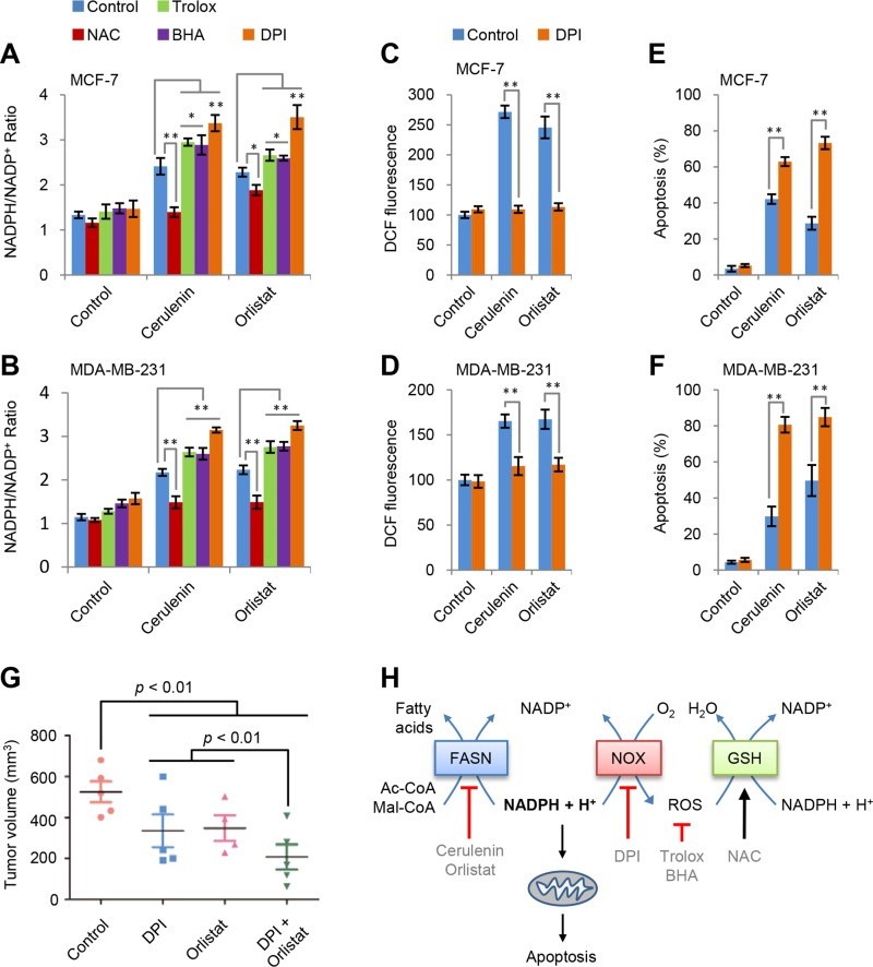 NADPH accumulation is responsible for apoptosis ( A and B ) Effects of trolox, BHA, NAC and DPI on NADPH/NADP + ratio in MCF-7 and MDA-MB-231 cells induced by cerulenin or orlistat. NADPH/NADP + was measured after cells were treated with 10 μM of cerulenin or 100 μg/ml of orlistat in combination with 2 mM of trolox, 10 mM of NAC, 100 μM of BHA or 5 μM of DPI for 2 h. ( C and D ) Effects of DPI on ROS generation in MCF-7 and MDA-MB-231 cells induced by cerulenin and orlistat. ROS levels were measured after cells were treated with 10 μM of cerulenin or 100 μg/ml of orlistat in combination with 5μM of DPI for 2 h. ( E and F ) Effects of DPI on apoptosis in MCF-7 and MDA-MB-231 cells induced by cerulenin and orlistat. Apoptosis was measured after cells were treated with 10 μM of cerulenin or 100 μg/ml of orlistat in combination with 5 μM of DPI for 48 h. Error bar indicates ± SE ( n = 3). * p