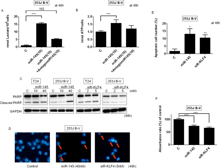 Ectopic expression of miR-145 or knockdown of KLF4 induced apoptosis in BC cells ( A ) Lactate production was measured at 48 h after the transfection of 253J B-V cells with miR-145 (10 nM) or miR-145 (10 nM) plus antagomiR-145 (10 nM). ( B ) ATP production was measured at 48 h after the transfection of 253J B-V cells with miR-145 (10 nM) or miR-145 (10 nM) plus antagomiR-145 (10 nM). ( C ) Protein expression of PARP at 48 h after the transfection of 253J B-V cells with miR-145 (10, 40 nM). ( D and E ) Hoechst33342 staining at 48 h after the transfection of 253J B-V cells with miR-145 (40 nM) or siR-KLF4 (5 nM). Apoptotic cells are indicated by the red arrows. ( F ) The cell viability of tumor cells within the 3D-spheroids was measured using the MTT assay. Results are presented as mean ± SD; ** P