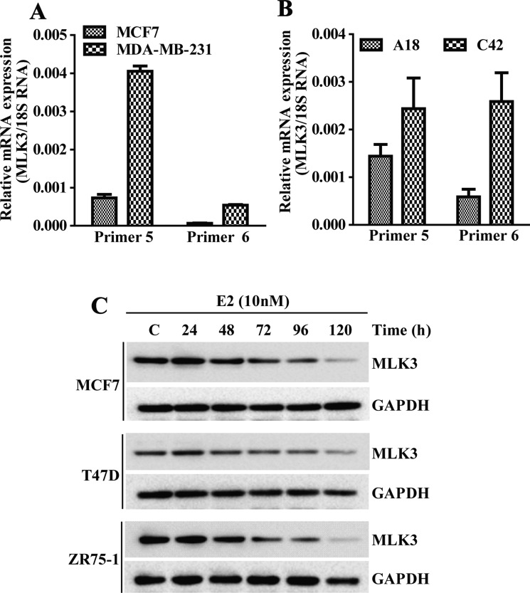 MLK3 expression is regulated by E2-ER axis: the MLK3 mRNA expression levels were quantified by Real Time PCR ( A ) MLK3 mRNA levels in MCF7 (ER+) were compared to MDA-MB-231(ER − ) cells, using two pairs of specific primer sets. ( B ) MLK3 mRNA levels in isogenic T47D cell lines: A18; (ER + ) and C42; (ER − ) were determined using same set of primers, like in A. ( C ) The ER+ MCF7, T47D and ZR75-1 breast cancer cell lines were treated with E2 (10 nM) in phenol red free medium containing 0.2% charcoal stripped serum for different periods of time as indicated. Lysate were prepared in RIPA buffer and immunoblotted with anti-MLK3 antibody. GAPDH was used as a loading control.