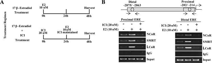 Transcriptional corepressors are recruited onto MLK3 promoter ( A ) Treatment regimens for ChIP assays. ( B ) The primary ChIP was performed with anti-ERα antibody, and re-immunoprecipitated second time with antibodies against NcoR or SMRT or LCoR. Final immunocomplexes were eluted in elution buffer and processed for PCR.