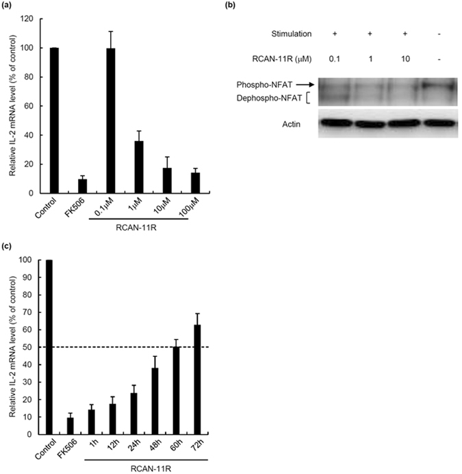 The dose-response and half-life of RCAN-11R. ( a ) The dose-response of RCAN-11R. Jurkat cells were treated with 0.1–100 μM RCAN-11R or 1 μM FK506 for 1 h, then with 200 nM PMA and 4 μM ionomycin for an additional 12 h. The cells were subjected to a quantitative RT-PCR. ( b ) Dephosphorylation of NFAT. Jurkat cells were treated with 0.1, 1, or 10 μM RCAN-11R for 1 h and with 20 nM PMA and 300 nM ionomycin for an additional 15 min and then western blot was performed. ( c ) The half-life of RCAN-11R. Jurkat cells were treated with 20 μM RCAN-11R for periods of 1–72 h or with 1 μM FK506 for 1 h, then with 200 nM PMA and 4 μM ionomycin for an additional 12 h. The cells were then subjected to a quantitative RT-PCR. The values represent the mean ± SE of five independent experiments.