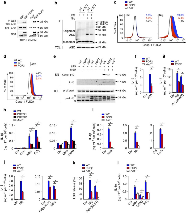 POP2 inhibits inflammasome assembly and activation in mouse macrophages. ( a ) Interaction of GST-POP2 with endogenous ASC from LPS-primed THP-1 cells and iBMDM TCLs using GST as negative control and showing 10% TCL as input. ( b ) Immunoblot analysis of ASC polymerization (oligomer) in untreated or LPS/nigericin (Nig)-treated WT BMDM and POP2 BMDM after non-reversible crosslinking of pellets (P) and in TCL. ( c , d ) Flow cytometric quantification of active caspase-1 in LPS-primed WT, POP2 and Asc −/− BMDM that were treated with control (Ctrl) or ( c ) nigericin or ( d ) ATP, % FLICA + live, single cells is listed. ( e ) Immunoblot analysis of active caspase-1 p10 and IL-1β release into culture SN of control, LPS-primed and LPS-primed and MSU-treated WT, POP2 and Asc −/− BMDM. Pro-caspase-1 and pro-IL-1β expression in TCL confirms equal loading. ns indicates a cross-reactive nonspecific protein. ( f – i ) Analysis of culture SN for IL-1β release by ELISA in control (Ctrl), LPS-primed (Ctrl+), or LPS-primed and ( f ) ATP-treated, ( g ) nigericin-treated or poly(dA:dT)-transfected and ( h ) MSU, SiO 2 or CPPD or ( i ) TcdB-treated or flagellin (Fla) and Bacillus anthracis lethal toxin-transfected WT, POP2 and Asc −/− BMDM. ( h ) POP2#1 and POP2#2 BMDM represent two independent POP2 TG lines. ( j – l ) Analysis of culture SN for release of ( j ) IL-18, ( k ) LDH and ( l ) IL-1α in response to the treatment of WT, POP2 and Asc −/− BMDM as above. Between three and five independent repeats were performed for each experiment. Significance was calculated by a standard two-tailed unpaired t -test and error bars represent s.e.m., * P