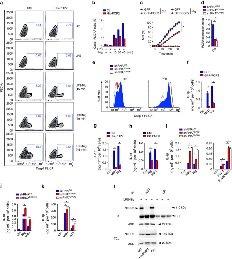POP2 inhibits inflammasome activation in human macrophages. ( a , b ) Flow cytometric quantification of active caspase-1 in control (Ctrl) and His-POP2 stably expressing THP-1 cells in response to nigericin (Nig) treatment for the indicated times in LPS-primed cells, indicating the % FLICA + live, single cells showing ( a ) contour plots and ( b ) quantification. ( c ) Kinetic microplate assay of PI uptake by THP-1 cells stably expressing GFP or GFP-POP2 in response to LPS priming followed by nigericin treatment. ( d ) Real-time PCR analysis of POP2 transcripts in stable control (shRNA Ctrl ) and two independent POP2 shRNA (shRNA POP2#1 and shRNA POP2#2 )-expressing THP-1 cells presented as fold compared to control shRNA cells. ( e ) Flow cytometric quantification of active caspase-1 by FLICA assay in LPS-primed POP2-silenced THP-1 cells in response to nigericin (45 min). ( f – j ) Analysis of culture SN for ( f , g , i ) IL-1β and ( h , j ) IL-18 release by ELISA in LPS-primed ( f ) GFP and GFP-POP2-stable THP-1 cells, ( g , h ) control and His-POP2-stable cells and ( i , j ) control and POP2 shRNA-expressing THP-1 cells in response to the indicated activators. ( k ) Primary human macrophages were transfected with a scrambled control or two POP2-specific siRNAs were primed with LPS, and culture SNs were analysed for secreted IL-1β release in response to MSU crystals and ATP. ( l ) Immunoprecipitation (IP) of ASC or control immunoglobulin G (IgG) from LPS-primed and nigericin-treated WT, control and His-POP2-stable THP-1 cells, followed by immunoblot analysis alongside TCL. HC indicates the antibody heavy chain. Three independent repeats were performed for each experiment. Significance was calculated by a standard two-tailed unpaired t -test and error bars represent s.e.m., * P