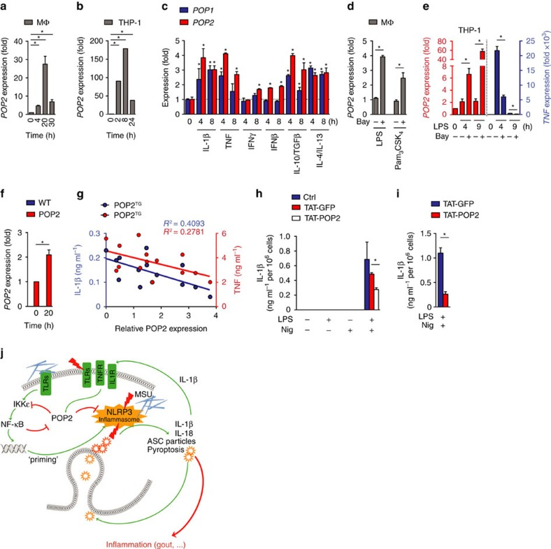 POP2 expression is induced in response to pro- and anti-inflammatory cytokines. ( a – f ) POP2 , POP1 and TNF transcripts as indicated were measured by real-time PCR in ( a , c , d ) primary human macrophages (MΦ). ( b , e ) THP-1 cells and ( f ) WT and POP2 BMDM treated with various pro- and anti-inflammatory PAMPs and cytokines for the indicated times. ( d , e ) Cells were pretreated with LPS or Pam 3 CSK 4 for 1 h and then further incubated in d for a total of 4 h and ( e ) 4 and 9 h in the presence of the NF-κB inhibitor Bay11-7082. ( g ) POP2 expression in BMDM isolated from individual POP2 TG mice was determined by immunoblot and densitometric quantification and correlated to the release of IL-1β in response to nigericin or the release of TNF in LPS-primed cells and was analysed by linear regression. ( h , i ) TAT-GFP or TAT-POP2 (0.28 μM) was added to the culture medium of unprimed or LPS-primed ( h ) BMDM and ( i ) iBMDM for 30 min followed by 45 min treatment with nigericin. IL-1β release was quantified by ELISA. ( j ) Proposed function of POP2 as a dual regulator that simultaneously inhibits NF-κB-mediated inflammasome priming and nucleation in macrophages in response to MSU crystals and other activators. POP2 is positioned in a negative feedback loop for inflammasome regulation since it is upregulated by IL-1β, which is blocked upon POP2 expression. For NF-κB signalling POP2 is positioned in a feed-forward regulatory loop since its inhibition of NF-κB leads to POP2 upregulation. Together, POP2 efficiently prevents cytokine release and pyroptosis. Three independent repeats were performed for each experiment in a – i . Significance was calculated by a standard two-tailed unpaired t -test, and error bars represent s.e.m., * P