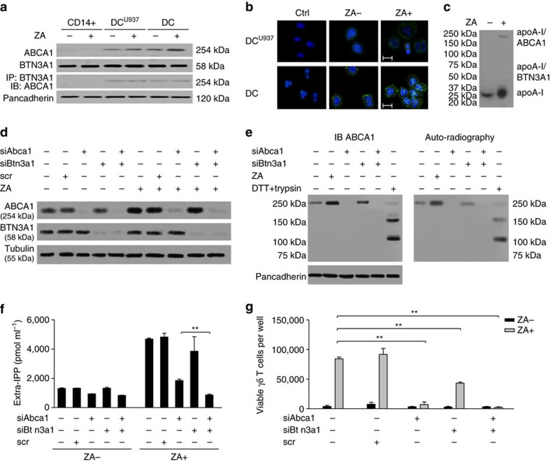 ABCA1 interactions with <t>BTN3A1,</t> apoA-I and IPP. ( a ) ABCA1 and BTN3A1 co-immunoprecipitate in untreated and ZA-treated DC U937 and DC but not in CD14+ cells, and ZA treatment does not modify BTN3A1 expression. Pancadherin is employed as a control of equal protein loading (one out of three blots). ( b ) PLA of ABCA1-BTN3A1 interaction by confocal laser-scanning microscopy (ocular lens: × 10; objective: × 63). Ctrl: cells without primary antibodies. Scale bar, 10 μm; blue: nuclear staining (DAPI); green: ABCA1/BTN3A1 interaction (one out of the three experiments). ( c ) apoA-I is physically associated with ABCA1, not with BTN3A1. The expected molecular weight of apoA-I, ABCA1/apoA-I and BTN3A1/apoA-I are shown (one out of the three experiments). ( d ) ABCA1 and BTN3A1 expression in DC after incubation with <t>siRNA</t> for Abca1 (siABca1), Btn3a1 (siBtn3a1) or with scrambled non-targeting siRNA (scr). β-tubulin was employed as control of equal protein loading ( n =3). ( e ) IPP is physically associated with ABCA1 in untreated and ZA-treated DC. The two bands of 150 and 100 kDa in the dithiothreitol (DTT)- and trypsin-treated DC lane are detected with an antibody specific for the N-terminal extracellular loop of ABCA1 in immunoblotting (IB; left). Autoradiography signal of the IPP-ABCA1 interaction (right). Pancadherin is employed as a control of equal protein loading (one out of three experiments). ( f ) Extracellular IPP release in Abca1- and/or Btn3a 1-silenced DC left untreated (ZA-) or after ZA treatment (ZA+). The bars represent the mean±s.e.m. of three experiments (** P