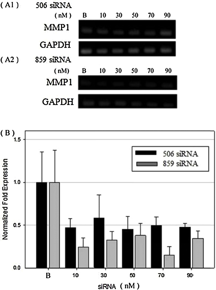 Analysis of endogenous MMP1 gene transcription by quantitative-PCR. MeWo cells were treated with different concentration (0, 10, 30, 50, 70, 90 nM) of target designed siRNA (506 siRNA and 859 siRNA) and incubated for 24 h. After incubation, the total RNA was extracted using TRIzol Reagent. The cDNA was synthesized using 1 μg of total RNA by reverse-transcription using iScript™ cDNA synthesis kit. MMP1 and GAPDH gene expression was carried out using Quantitative-PCR/iQ™ SYBR ® Green Supermix (Bio-rad, California). (A) was the 1.5% agarose gel electrophoresis assay of the PCR products of different siRNA treatments. (B) was the quantified results of the expression quantity of relative expression of the MMP1 mRNA normalized against GAPDH mRNA and compared to blank (without treatment of siRNA).