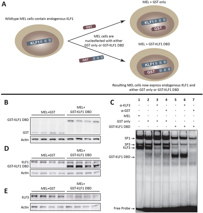 The GST-KLF1 DBD construct is capable of binding to the canonical KLF1 binding site and has a biological effect in MELs. ( A ) Schematic demonstrating the experimental design of the two different constructs nucleofected into MEL cells. ( B ) Western blots from MEL lines showing protein expression of GST and GST-KLF1 DBD for each clone. Actin is presented as a loading control. ( C ) EMSAs from representative MEL clones indicating GST-KLF1 DBD is capable of binding the canonical KLF1 consensus sequence ( β - globin CACCC probe) in vitro . ( D ) Western blots from MEL clones with an antibody that recognises both endogenous KLF1 and GST-KLF1 DBD. β-Actin is presented as a loading control. ( E ) Western blots from MEL clones with an antibody that recognises KLF3, indicating reduced expression of endogenous KLF3 in cells overexpressing GST-KLF1 DBD compared to GST only clones. β-Actin is presented as a loading control. n = 4 for each construct.