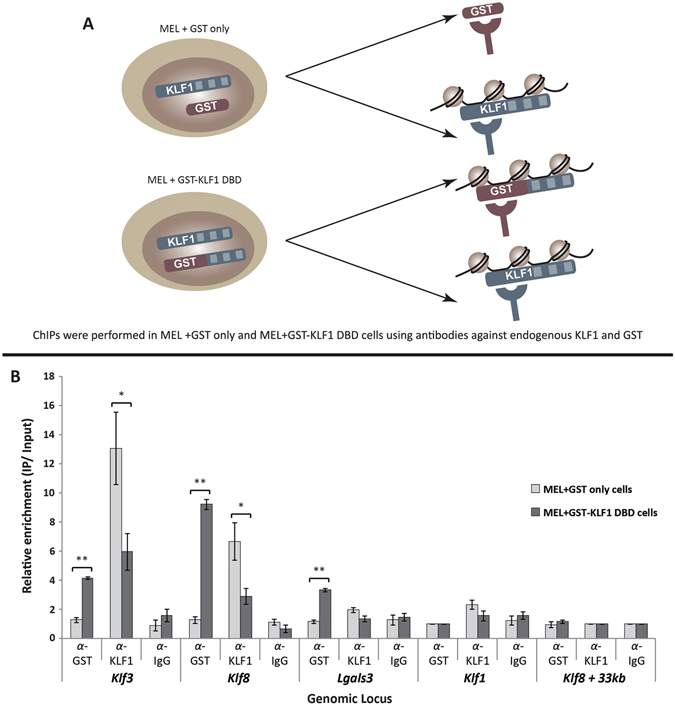 The GST-KLF1 DBD protein displaces endogenous KLF1 at a number of KLF1 target genes in vivo . ( A ) Schematic depicting the experimental design of the ChIP experiment. ( B ) ChIPs were performed using α-KLF1, α-GST and α-IgG in both in MEL + GST and MEL + GST-KLF1 DBD clones, (n = 4 for each group per IP). Data are represented as the fold-change enrichment of IP over input, where the negative control for each IP, the Klf1 promoter for GST, and the Klf8 +33 kb locus for both KLF1 and IgG, was set to 1. The Klf3 1b and Klf8 promoters have been included as positive controls while the Klf1 promoter, and Klf3 +10 kb and Klf8 +33 kb genomic regions are shown as negative controls. Error bars shown represent standard error of the mean, p values indicate the difference between the means, *p