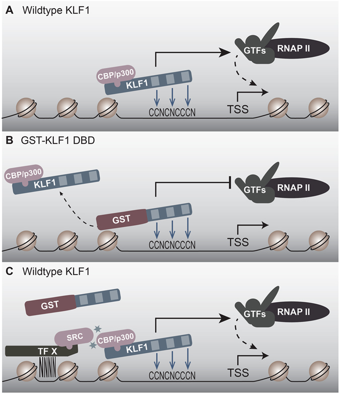 GST-KLF1 DBD can act as a dominant negative at some KLF1 target sites to displace endogenous KLF1 binding, thereby inhibiting DNA activation. ( A ) In the absence of GST-KLF1 DBD, endogenous KLF1 is able to bind and activate its target genes normally. ( B ) At some KLF1 target sites, for instance the Klf3 1b promoter, the GST-KLF1 DBD protein is able to out-compete endogenous KLF1, either by sheer amount of protein present, or a higher affinity for the site. This results in reduced activation of these target genes. ( C ) At some sites, GST is unable to bind due to it not being able to interact efficiently with other KLF1 partners and SRC family members. In this case, activation of KLF1 target genes in unaffected.