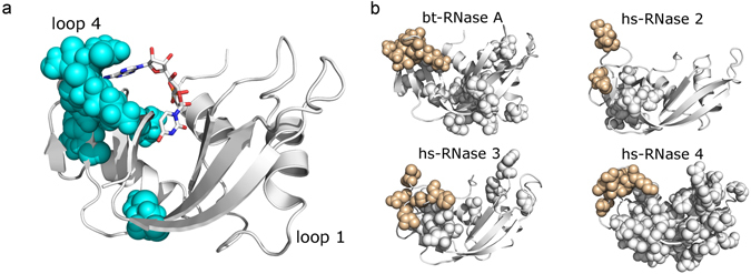 Structural units tuning conformational dynamics. ( a ) Residues of IC4 mapped on the 3D structure of RNase A (PDB 7RSA). ( b ) Millisecond timescale dynamics of free forms of bovine (bt) RNase A (PDB 7RSA), human (hs) RNases 2 (PDB 1GQV), 3 (PDB 1QMT) and 4 (PDB 1RNF), probed using NMR 15 N-CPMG relaxation dispersion experiments at 500 MHz and 800 MHz and 298 K. Residues showing 15 N-CPMG dispersion profiles with Δ R 2 (1/τ cp ) > 1.5 s −1 are displayed using the space filling representation. Beige color represents residues of loop 4.