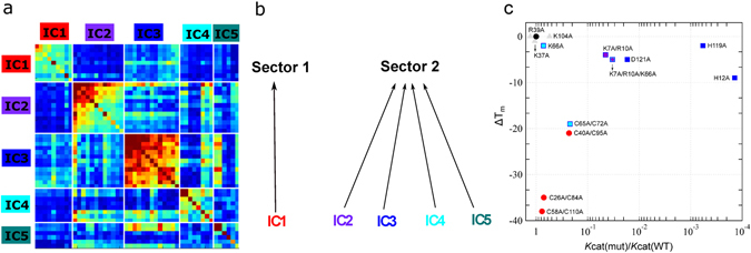 Sector definition for the ptRNase superfamily. ( a ) IC-based sub-matrix of the  C i,j  coupling matrix displaying the top five ICs, resulting in the definition of two sectors – sector 1 corresponding to IC1 and sector 2, comprised of ICs 2, 3, 4 and 5. Color scheme of the diagonal elements in the matrix correspond to the intrinsic conservation of residues, with red and blue colors corresponding to high and low conservation, respectively. Colors of the off-diagonal elements reflects the correlation between residues with the red end of the spectrum corresponding to strongly correlated residue pairs while the blue end of the spectrum indicates uncorrelated interactions. ( b ) Two sectors defined based on IC grouping shown in a. ( c ) Effects of amino acid mutations in sectors 1 (red circles) and 2 (squares) on the catalytic rate ( k cat ) relative to wild type and change in thermal stability (Δ T m = T m(mutant) − T m(WT) ) in bovine RNase A. The colors of the squares correspond to the IC subgroups defined in Fig.  1 . Mutational data were obtained from the literature and are presented for positions where biochemical properties were characterized under the same conditions using polyC as substrate (residues in bold in Table  S4 ). Wild-type data is shown as a black triangle while non-sector residues are displayed as grey triangles.