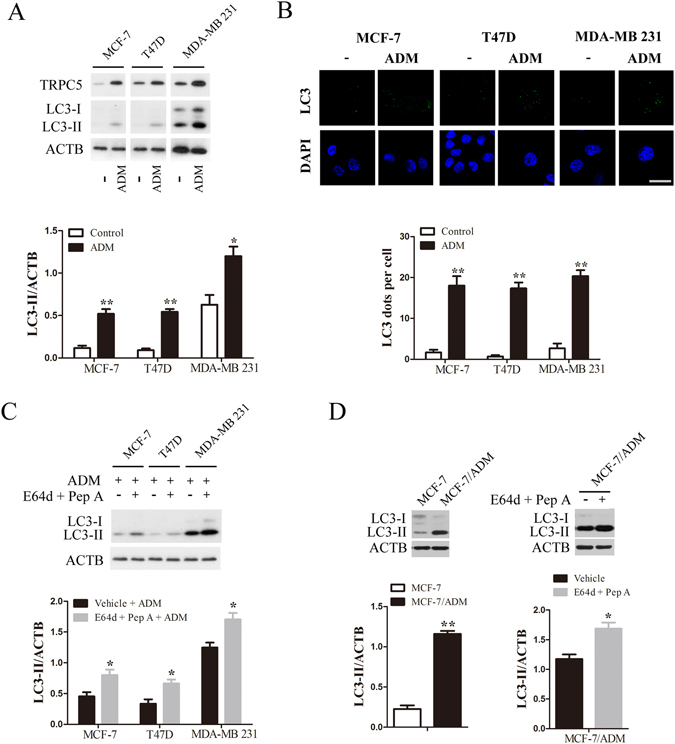 Chemotherapy enhances autophagy and TRPC5 expression in breast carcinoma cells. ( A ) Breast cancer cells were treated with 400, 300 and 800 nmol/L ADM for 48 h, and then the expression of TRPC5, LC3 and ACTB/β-actin was analyzed by western blot. Representative western blot and densitometric analysis normalized to ACTB demonstrating the effect of ADM on LC3-II levels. ( B ) Representative immunofluorescence images showing redistribution of the autophagic marker LC3 in breast cancer cells were captured on a confocal microscope, and the average number of LC3 dots per cell. Scale bar: 20 μm. ( C ) Representative western blots and densitometric analysis normalized to ACTB demonstrating the effect of the lysosomal protease inhibitors 10 μg/mL E64d plus pepstatin A (Pep A) on ADM-induced LC3-II accumulation. ( D ) Representative western blots and densitometric analysis normalized to ACTB demonstrating the LC3-II levels in MCF-7/ADM cells and the effect of E64d and Pep A. Values are means ± SEM of 4 to 6 experiments. *p