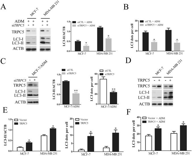 Chemotherapy induced autophagy is regulated by TRPC5 in breast carcinoma cells. ( A ) MCF-7 and MDA-MB 231 cells were transfected with siTRPC5 or siCTL for 24 h and then exposed to ADM for 48 h. The levels of TRPC5, LC3, and ACTB were quantified by Western blot. ( B ) The effect of TRPC5 knockdown on the average number of LC3 dots per cell in the indicated cells. ( C ) Representative western blots and densitometric analysis normalized to ACTB demonstrating the effect of TRPC5 silencing on the accumulation of LC3-II and the average number of LC3 dots per cell in MCF-7/ADM cells. ( D and E ) Representative western blot and densitometric analysis normalized to ACTB demonstrating the effect of TRPC5 overexpression on accumulation of LC3-II and average number of LC3 dots per cell in indicated cells. ( F ) The effect of TRPC5 overexpression on ADM-induced LC3 puncta formation in indicated cells. Values are mean ± SEM of 3 to 6 experiments. *p