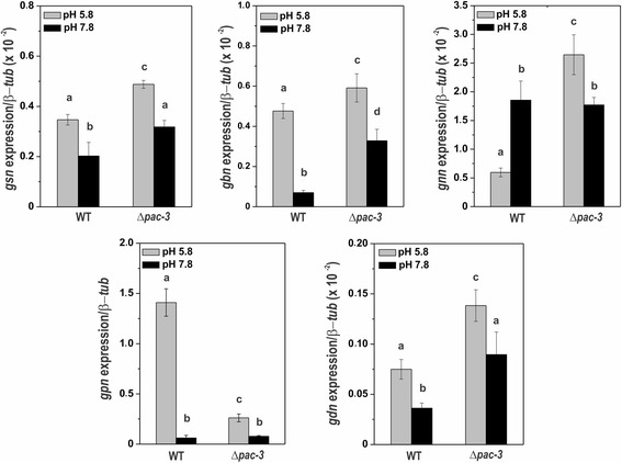 The expression of glycogenic genes in the wild-type and Δ pac-3 mutant strains at normal growth pH (5.8) and alkaline pH (7.8). Cells from the wild-type and Δ pac-3 strains were cultured at pH 5.8 for 24 h and shifted to pH 7.8 for 1 h. Mycelial samples were collected and used to extract total RNA. Gene expression analysis was performed by RT-qPCR in the StepOnePlus™ Real-Time PCR system (Applied Biosystems) using the Power SYBR® Green and specific primers. The β- tub gene was used as the reference gene, and the wild-type at pH 5.8 was used as the reference sample. At least three biological replicates were performed in triplicate, and the data were analyzed using the relative quantification standard curve method. Bars indicate the standard deviation from the biological experiments. a, b, c, d: Letters above the bars indicate statistical significance; different letters indicate significant difference between two samples and similar letters indicate no significant difference between two samples at the same or different pH (Student's t-test, P