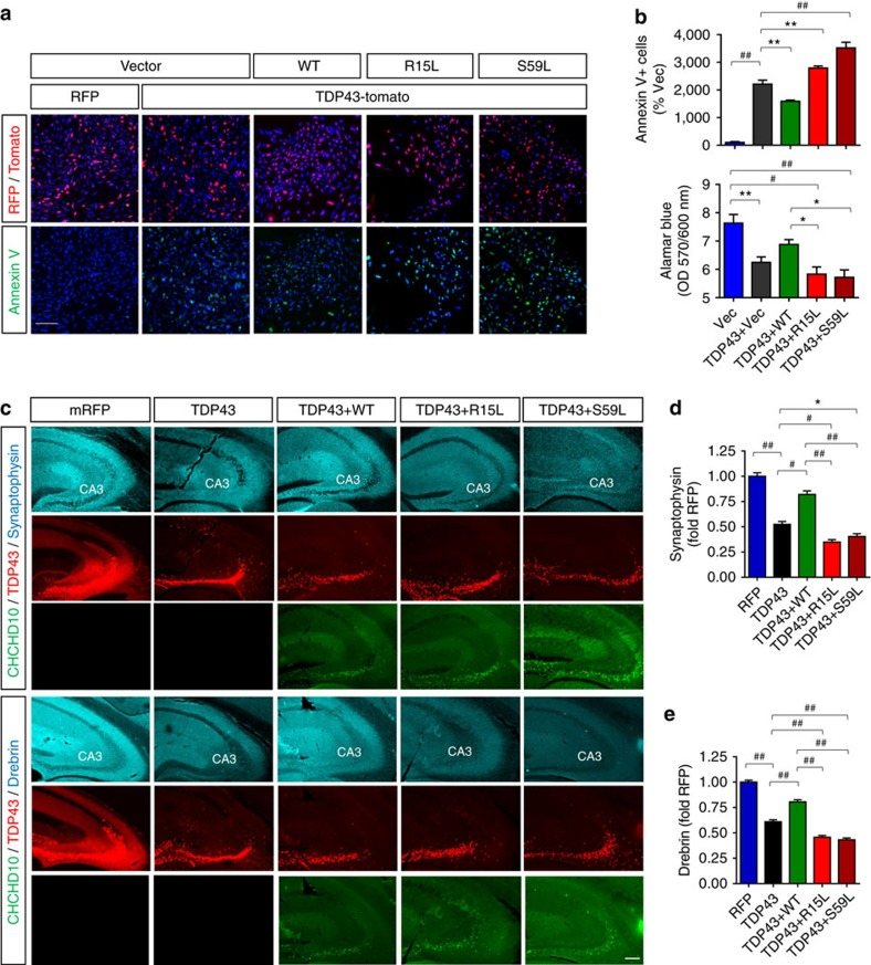 Wild-type CHCHD10 ameliorates and FTD/ALS CHCHD10 mutations potentiate TDP-43-induced apoptosis and synaptic impairment. ( a , b ) HT22 neuroblastoma cells transfected with TDP-43-tomato and/or Flag-CHCHD10 variants, then subjected to Annexin V staining and direct TDP-43-tomato fluorescence. Cells also subjected to alamarBlue staining and quantification of OD570/600 ratio. Scale bar, 100 μm. ( b ) Quantification of Annexin V+ cells in RFP+ or TDP-43-tomato+ cells normalized to control (upper graph: one-way ANOVA, post hoc Tukey, ** P