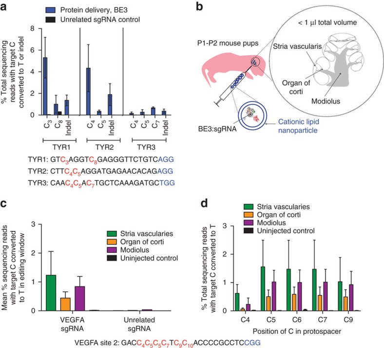 DNA-free in vivo base editing in zebrafish embryos and in the inner ear of live mice using RNP delivery of BE3. ( a ) On-target genome editing in zebrafish harvested 4 days after injection of BE3 complexed with indicated sgRNA. Values and error bars reflect mean±s.d. of three injected and three control zebrafish. Controls were injected with BE3 complexed with an unrelated sgRNA. ( b ) Schematic showing in vivo injection of BE3:sgRNA complexes encapsulated into cationic lipid nanoparticles. ( c ) Base editing of cytosine residues in the base editor window at the VEGFA site 2 genomic locus. ( d ) On-target editing at each cytosine in the base-editing window of the VEGFA site 2 target locus. ( c , d ) Values and error bars reflect mean±s.e.m. of three mice injected with sgRNA targeting VEGFA site 2, three uninjected mice and one mouse injected with unrelated sgRNA.