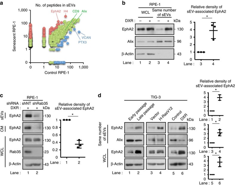 Senescence induces increased secretion of sEV-associated EphA2. ( a ) Comparative proteomic analysis of sEVs secreted from control and DXR-induced senescent RPE-1 cells by using mass spectrometry. The number of peptides detected in sEVs secreted from control and DXR-induced senescent RPE-1 cells are plotted for the identified proteins. Blue and red plots represent the data for the proteins significantly enriched in sEVs secreted from control and DXR-induced senescent RPE-1 cells, respectively. Green plots represent the data for the other proteins. ( b ) Immunoblotting of EphA2, Alix and β-actin in the sEV fraction and WCL of control and DXR-induced senescent RPE-1 cells. The same number of sEVs was loaded in each lane. Dot plot represents the relative density of sEV-associated EphA2 analysed by ImageJ. ( c ) Immunoblotting of indicated proteins in the sEV fraction, CM and WCL of DXR-induced senescent RPE-1 cells expressing non-targeting shRNA (shNT) or Rab35 shRNA (shRab35). Dot plot represents the relative density of sEV-associated EphA2 analysed by ImageJ. ( d ) Immunoblotting of indicated proteins in the sEV fraction and WCL of pre-senescent control and senescent TIG-3 cells. Senescence was induced by serial passage, oncogenic Ras expression or DXR-treatment. The same number of sEVs was loaded in each lane. Dot plots represent the relative density of sEV-associated EphA2 analysed by ImageJ. Replicates are biological replicates ( n =3). Error bars indicate s.d. * P